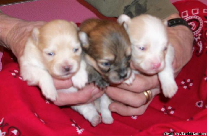 Pomeranian puppies ---- Accepting Deposits - Price: 400.00