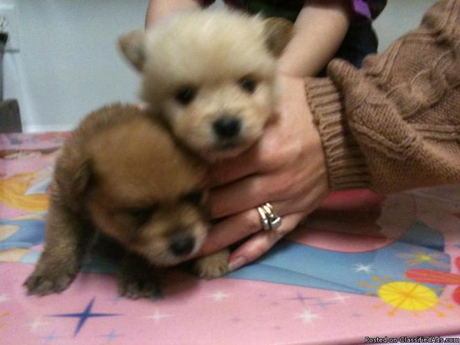POMERANIAN PUPPIES, AKC, $500 - Price: 500.