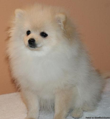 Pomeranian Puppies for Sale - Price: $500 00 or B/O for sale in