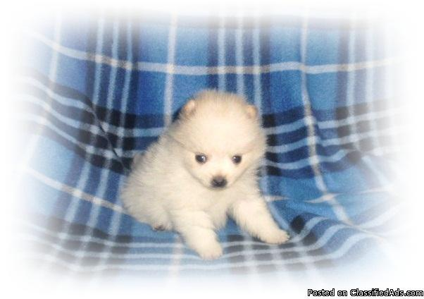 Pomeranian Puppies - Price: 375 00 for sale in Rice Lake, Wisconsin