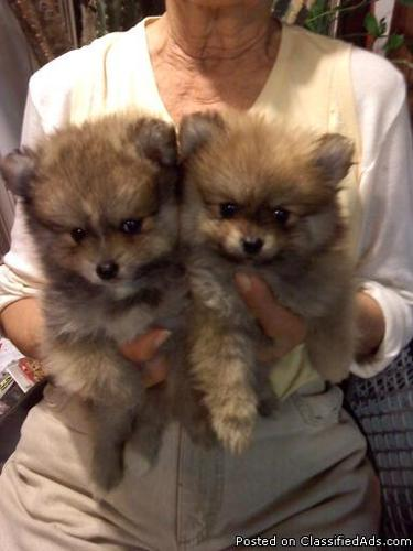 Pomeranian Pups, CKC, very tiny - Price: $400 00 for sale in