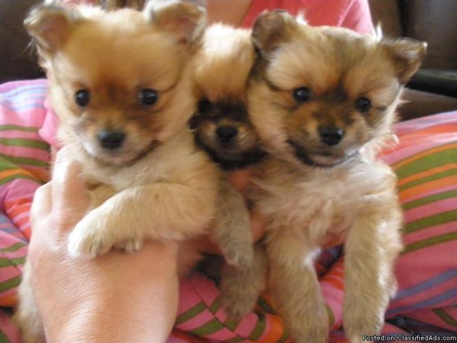 Image Pekingese Pomeranian Mix Puppies For Sale Download