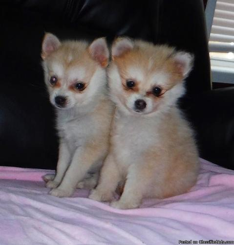 Pomsky Puppies ( Toy sized Huskies ) for sale in Orlando