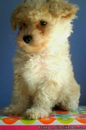 POODLE PUPPIESS - Price: $500.00