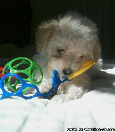 Poodle Puppyyyyyy - Price: $400.00
