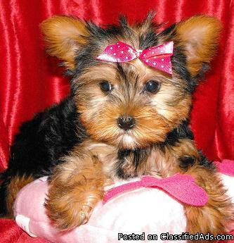 Poodles Maltipoo Yorkiepoo Yorkie Shih-tzu puppies for sale in NY - Price: 300