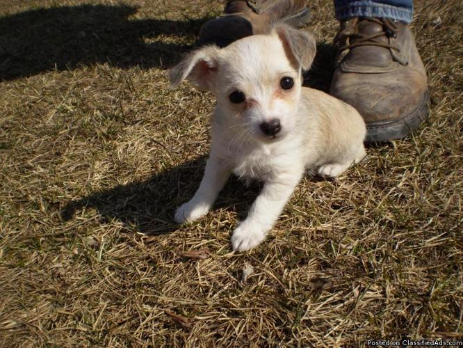 POOHUAHUA ( CHIHUAHUA POODLE MIX ) - Price: 800.00 for sale in Oak ...