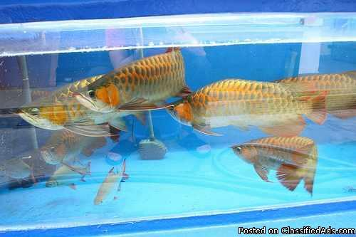PREMIUM ASIAN RED,SUPER RED AND MANY OTHER AROWANA SPECIES FOR SALE!!CALL OR TEXT ON (401-526-3985) - Price: $300