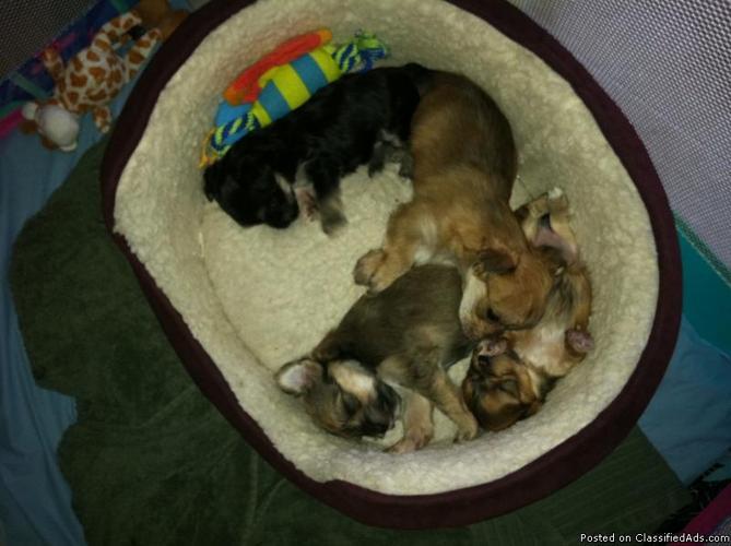 Premium Hybrid Morkie Puppies - Price: $750.00