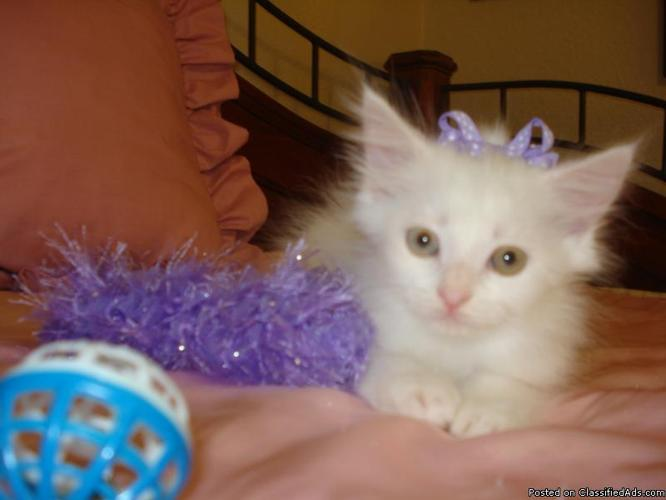 PRETTY FEMALE HALF PERSIAN - Price: 125.00
