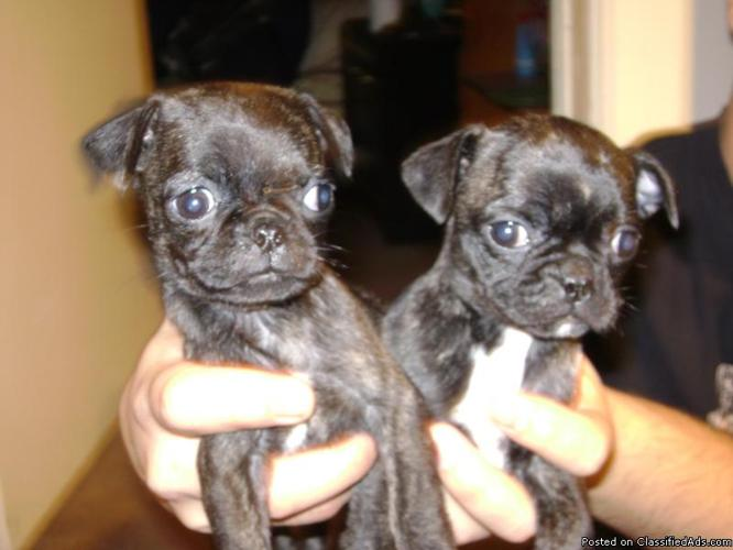 pug boston terrier puppies price 250 for sale in tulsa