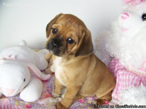 Puggle Puppy for sale 11 weeks old - Price: $500 for sale in