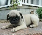 Pugs and Puggle puppies for sale in Dc and Maryland - Price: 220