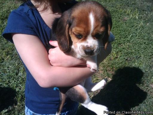 Pure Blood Beagle Puppies Price 200 For Sale In Holden