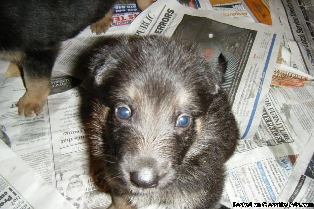 pure german shephard puppys 5 wks old - Price: 300.00