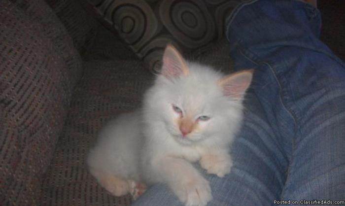Purebred Flame point Ragdoll kitten - Price: 300.00