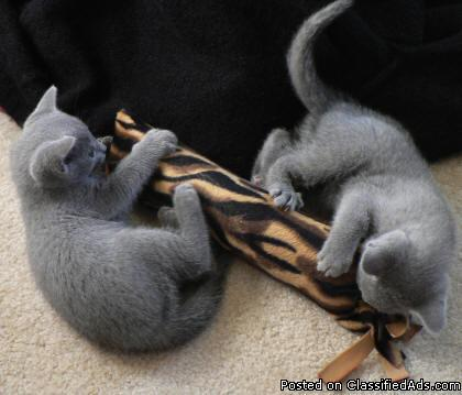 Purebred Russian Blue Kittens for Sale - Price: 400