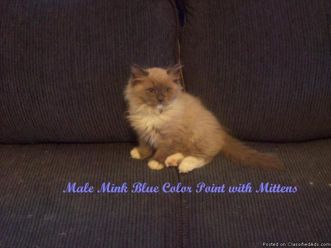 Purebred Show Quality Ragdoll Kittens Available Now!!! - Price: $500.00