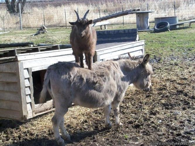 Pygmy Goat For Sale Price 40 00 For Sale In Sheboygan