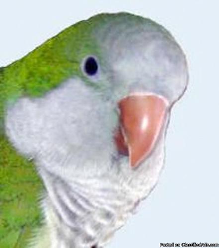 Quaker parakeet/parrot 18 yrs. adorable - Price: 65.00