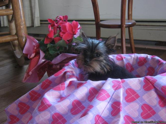 Quite Small TEACUP Yorkie, female, 5 months old - Price: 900