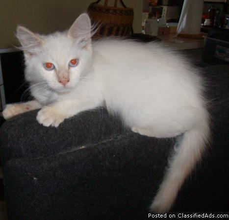 Ragdoll Flame Point Male Kitten - Price: 400.00