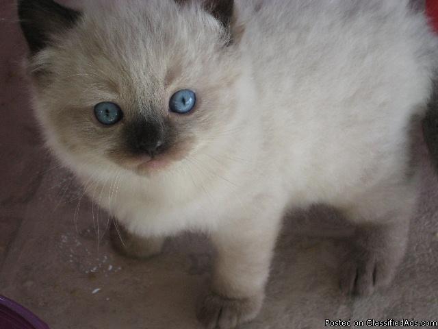 Ragdoll Kittens - Price: 550.00