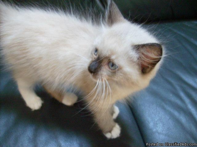 Ragdoll Mitted Seal Point Male Kitten - Price: 350.00