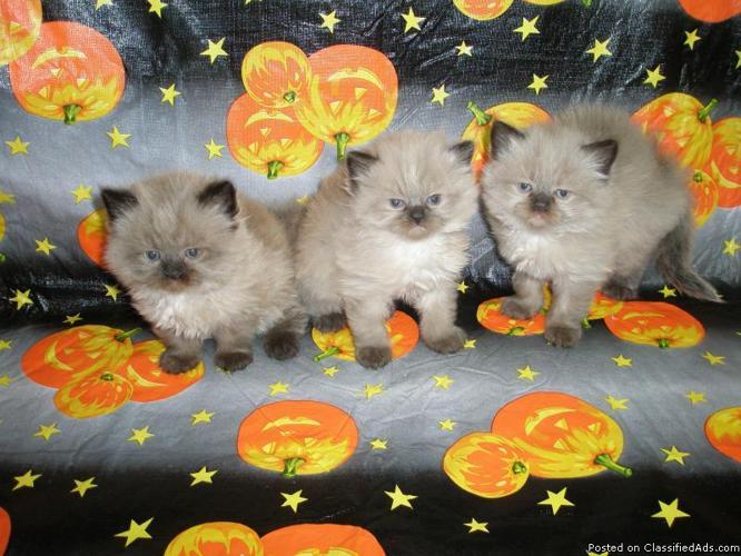 Ragdolls kittens - Price: 350.00