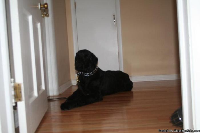 Rare Black Russian Terrier - Price: $400.00