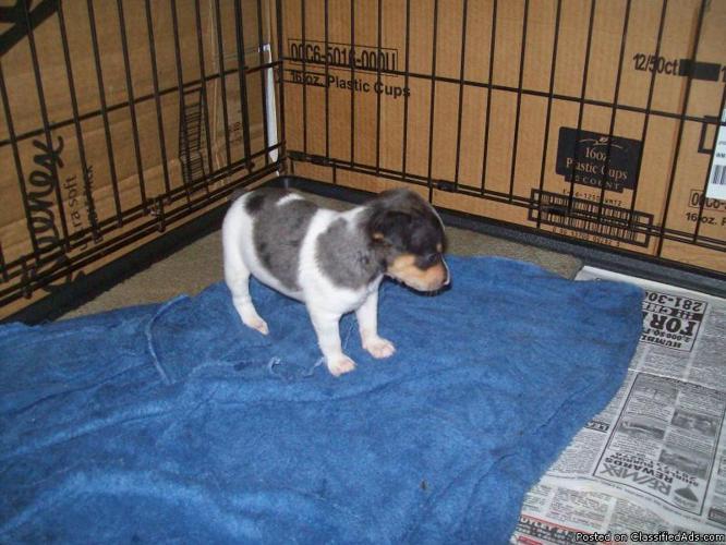 Rat Terrier puppies - Price: $150.00