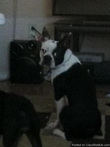 Registered Boston Terrier for Stud-PROVEN STUD