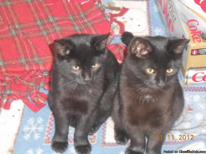 Roly Poly Purry kittens! - Price: TBD