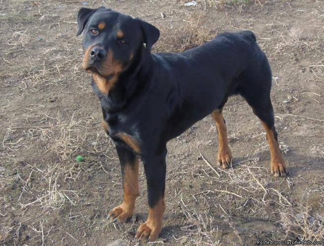 ROTTWEILER IN NEED OF HOME - Price: Small Re-Homing Fee