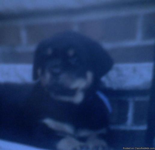 Rottweiler puppies - Price: 400.00