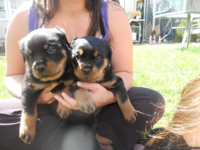 Rottweiler Puppys NEW PRICE - Price: 1000