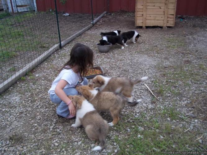 rough collie pups - Price: 500 00 for sale in Utica