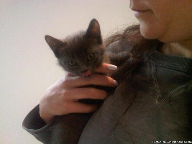 Russian Blue Kittens For Sale! - Price: $750