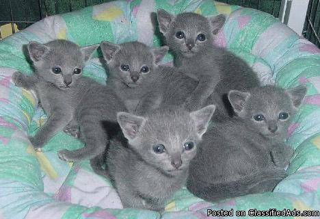 Russian Blue Kittens Price 400 For Sale In Seattle Washington Best Pets Online