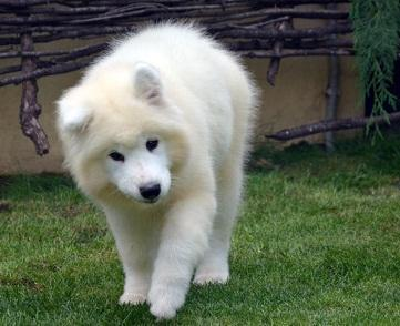 Samoyed puppies for sale now for sale in Orlando, Florida