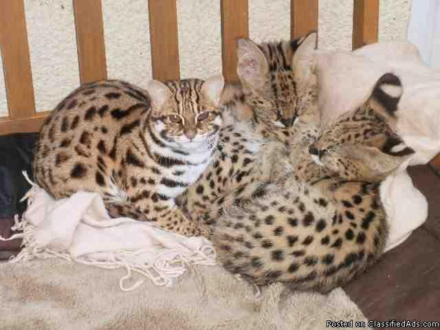 Savannah F1 - F3 and Serval kittens for sale - Price: 1500
