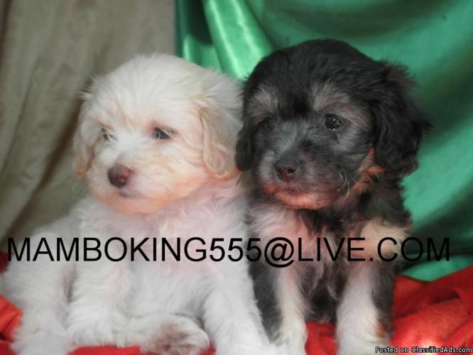 Schnoodle Puppies Mini Toy Females 10 Weeks Old Price 375 For