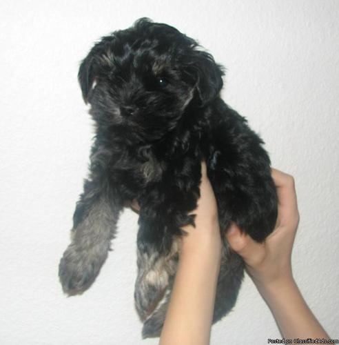 Schnorkie-Doodle Puppies for sale! - Price: $400