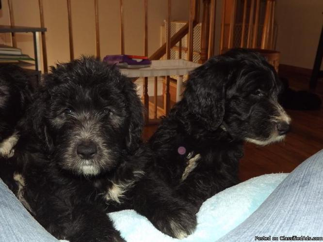 SHEEPADOODLE PUPPIES FOR SALE - Price: 550 00 for sale in Dayton