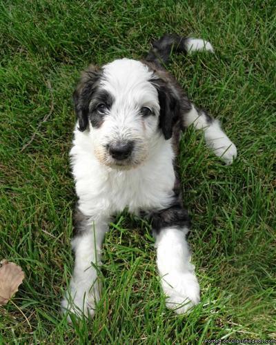 Sheepadoodle puppies for sale in Longmont Colorado Best pets Online