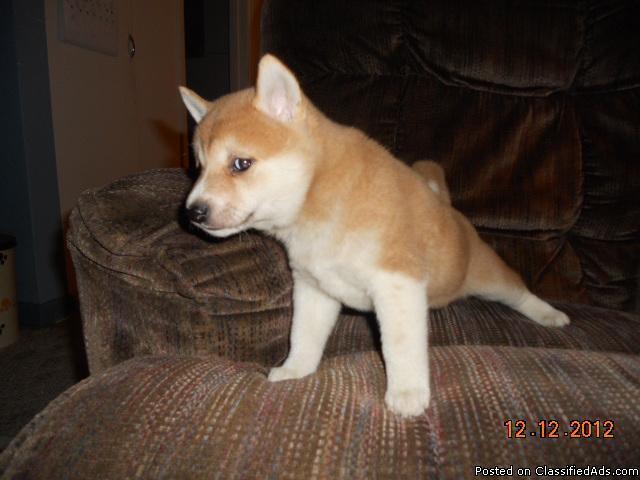 Shiba Inu Female Puppies - Price: $450 for sale in Castalia, Iowa