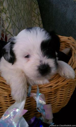Shichon Puppy 1st Generation