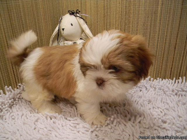 Shih Tzu Puppies $400 - Price: $400 for sale in West