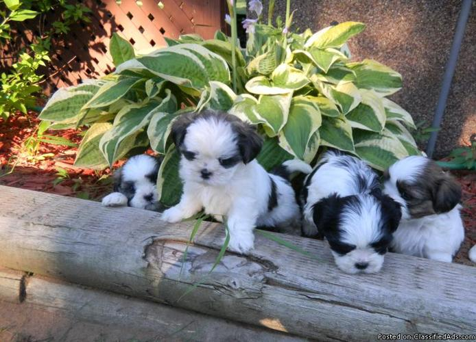 Shih Tzu Puppies For Sale - Price: 300 00 for sale in