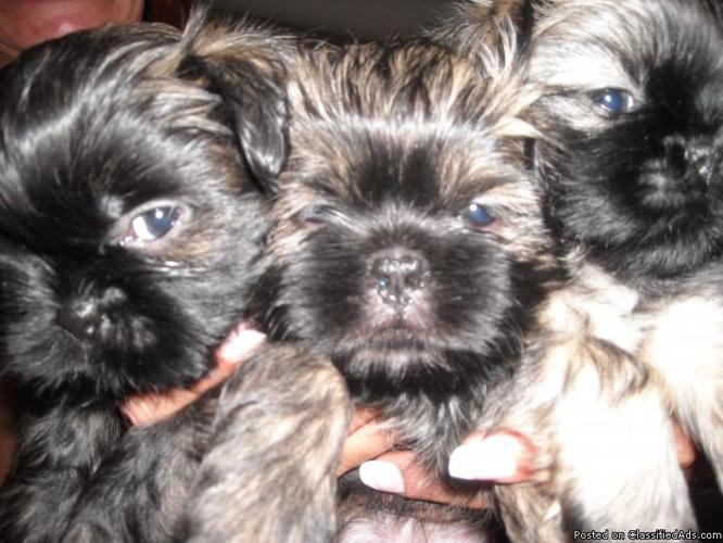 SHIH-TZU PUPPIES FOR SALE - Price: $400 for sale in Queen